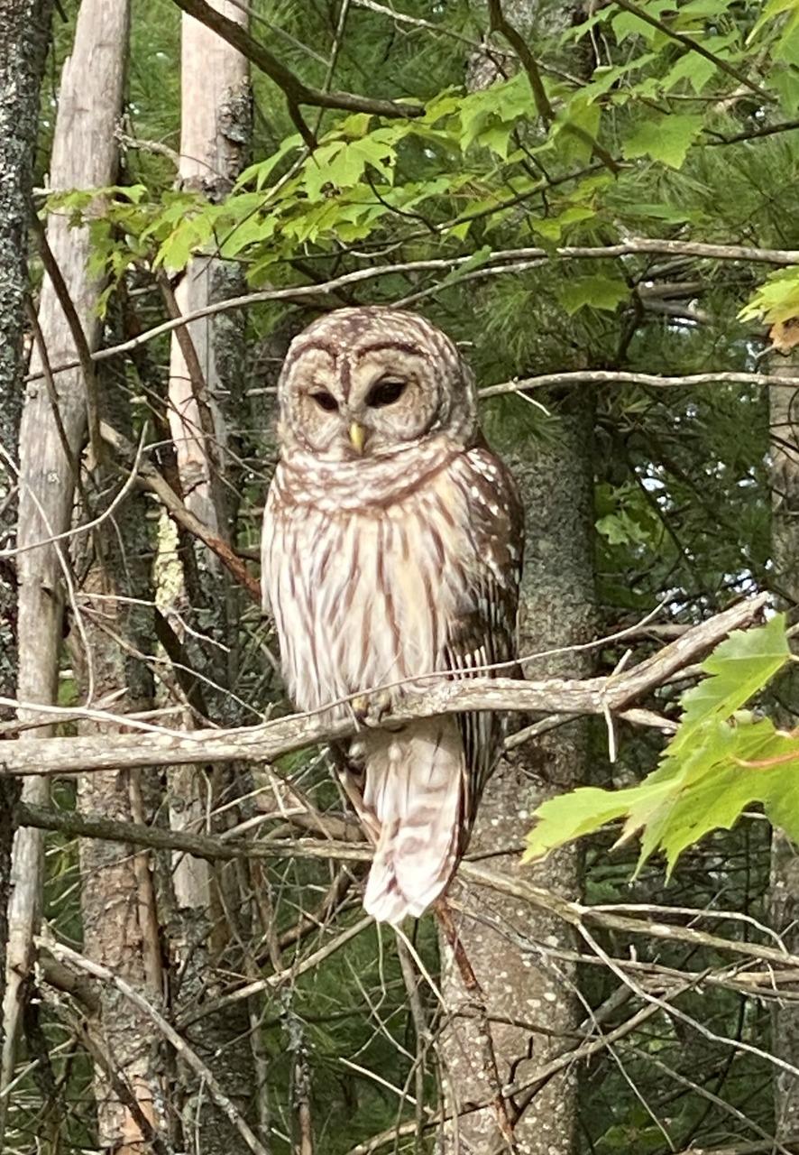Lake Dubonnet Owl